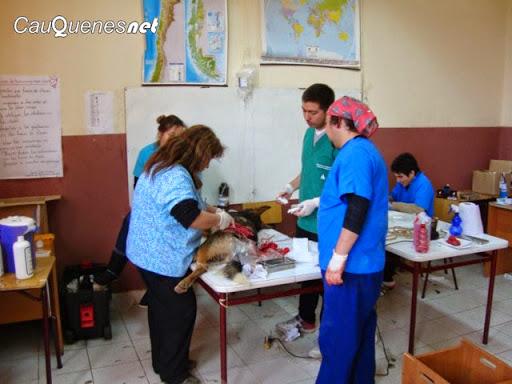 Municipio de Cauquenes realiza esterilización de mascotas