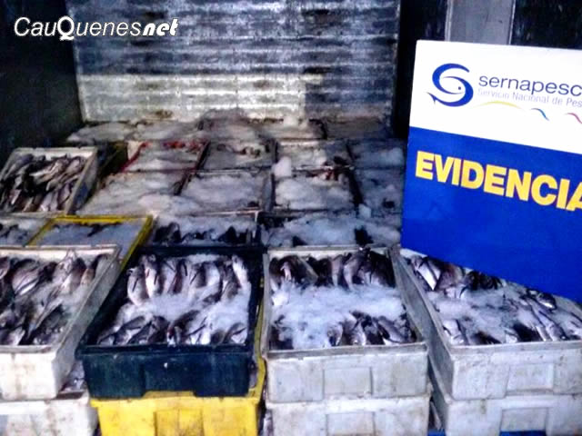 Sernapesca Incautó más de 10 Toneladas de Pesca Ilegal en Rutas de la Región del Maule
