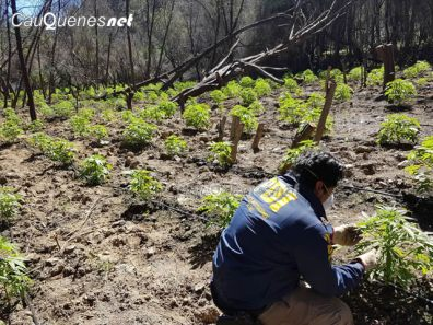 PDI cauquenes incauto 1463 matas marihuana 01-cqnet