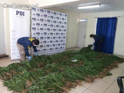 PDI cauquenes incauto 1463 matas marihuana 02-cqnet