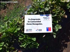 Frutilleros Pelluhue equipan locales 04-cqcl