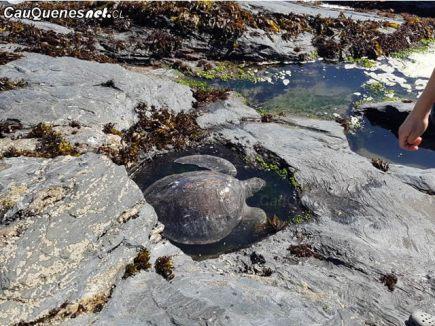 Tortuga marina rescatada en Curanipe sernapesca 01-cqcl
