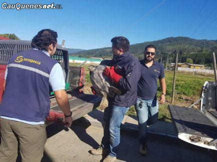 Tortuga marina rescatada en Curanipe sernapesca 02-cqcl
