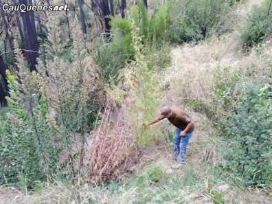 carabineros Cauquenes encuentra plantacion de marihuana en sauzal 080418 01-cqcl