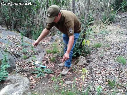 carabineros Cauquenes encuentra plantacion de marihuana en sauzal 080418 03-cqcl