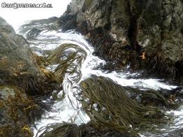 cochayuyo en el mar 01-cqcl