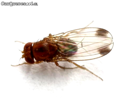 SAG drosophila suzukii 01-cqcl
