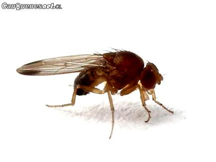 SAG drosophila suzukii 02-cqcl