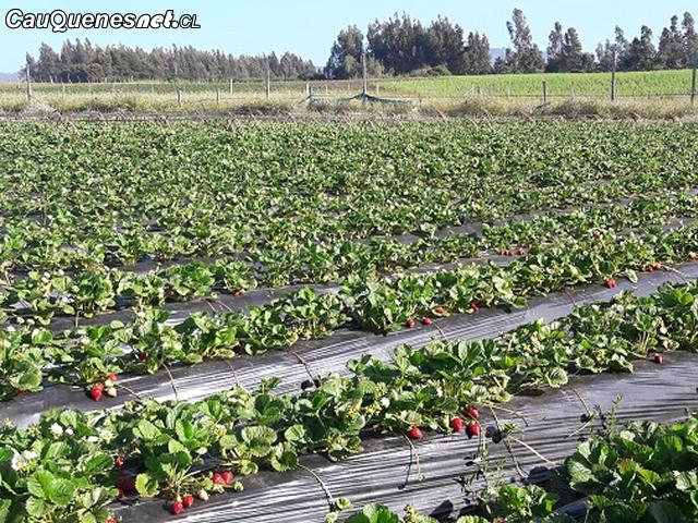 agricultura costa provincia de cauquenes 01-cqcl