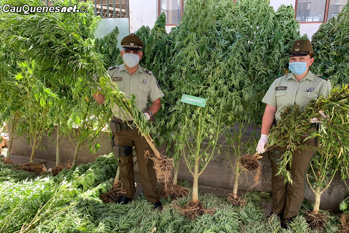 Cauquenes: Sujeto es arrestado por manetener cultivo ilegal de Marihuana